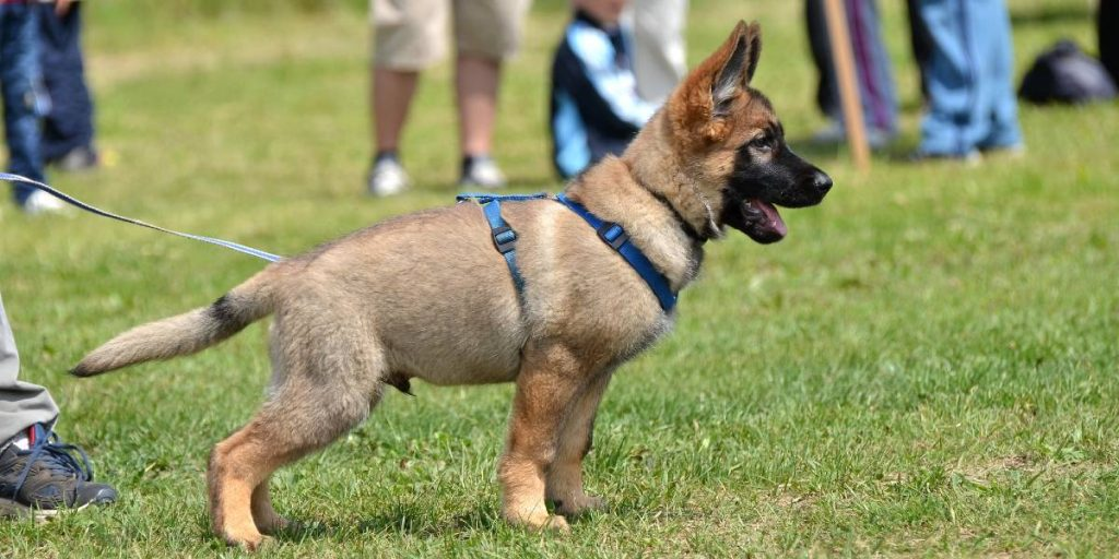 German Shepard in puppy training class